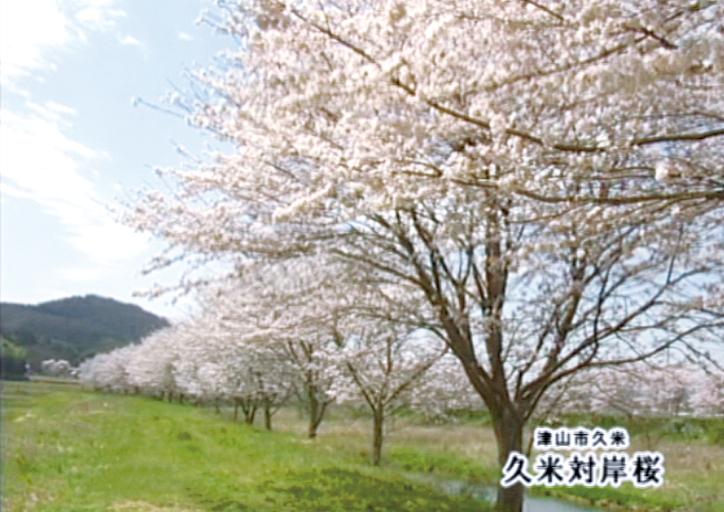 久米川の桜