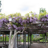 グラスハウスの藤の花