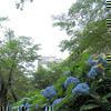 津山城(鶴山公園)の紫陽花