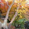 津山城(鶴山公園)の紅葉です。