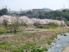 宮川沿いのさくらは満開です。