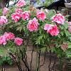 2010年5月2日の愛染寺のぼたんの花