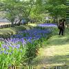 作楽神社のカキツバタの花が綺麗ですね!