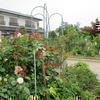 津山市上村 赤堀さん宅のバラです。