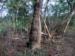 よれる木.jpg