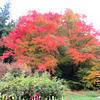 里山庭園のイロハモミジ(津山高野山西)