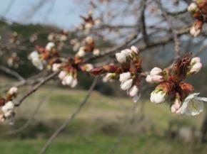 おその桜1.jpg