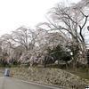 2013年本山寺 枝垂桜と逆木櫻(美咲町)
