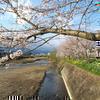 2013年 津山市沼の柳通りのさくら並木