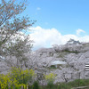 津山城(鶴山公園)の2013年さくら