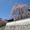 2013年千光寺のさくら