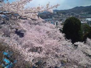 2014鶴山桜.jpgのサムネイル画像