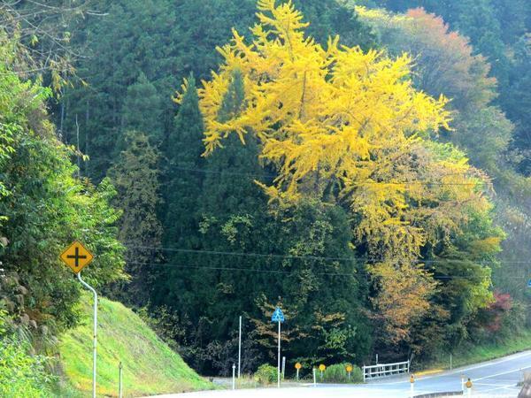 知和のイチョウの木