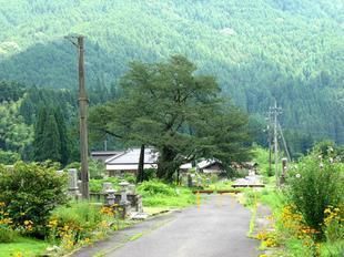 osonosakura12.jpg