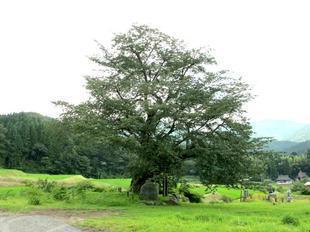 osonosakura19.jpg