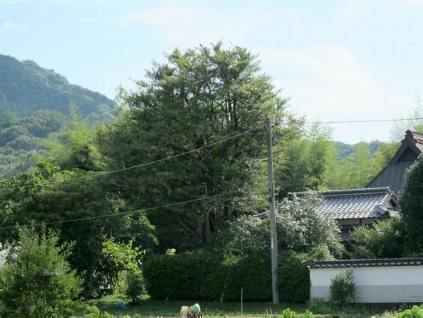 池田のサカキ(久米南方中)