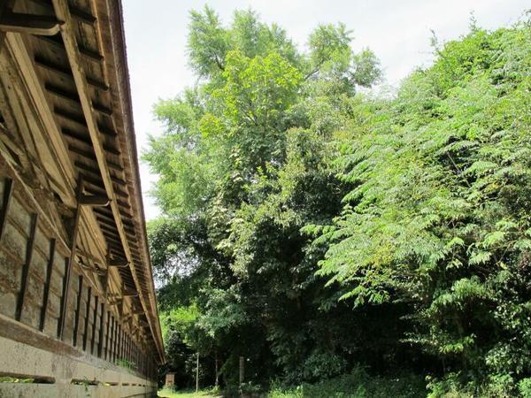 中山神社のイチョウの木