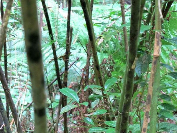 本谷の虎斑竹(トラフダケ)自生地(国指定天然記念物)