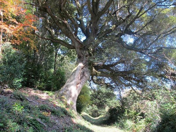 夢中山 幻住寺の裏山のシイの木が見事です。