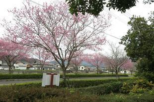higashi-sakura2.jpg