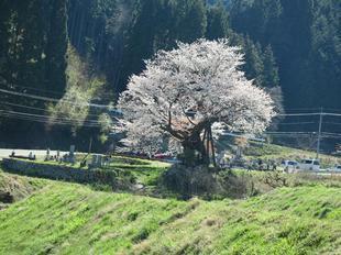 osonosakura2.jpg
