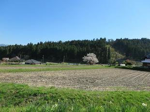 osonosakura3.jpg