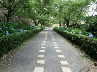 6-21_kakuzan_ajisai5.jpg