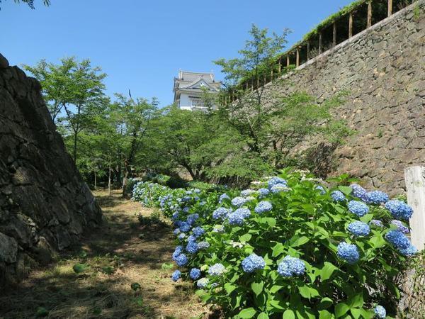 2017年6月の津山城(鶴山公園)のアジサイの花