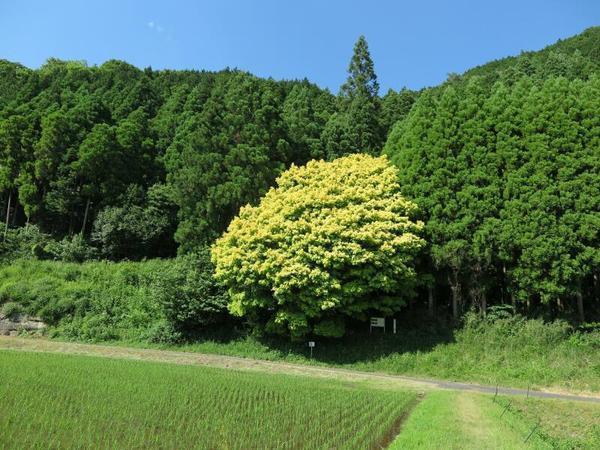 鏡野の七色樫の木