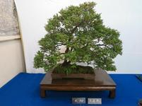 bonsai9.jpg
