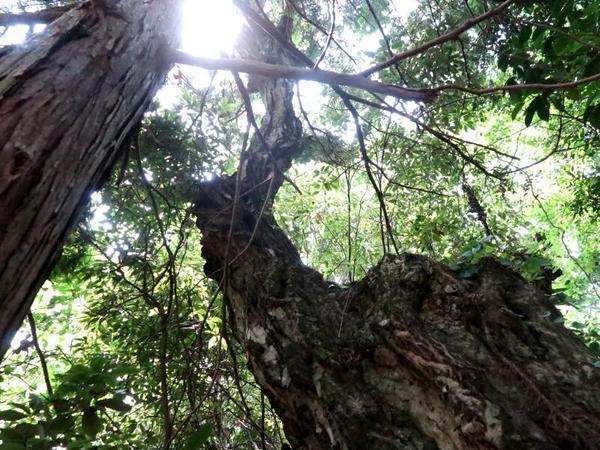 日詰山の山中に生えていた大きなイヌシデ(ソロノキ)