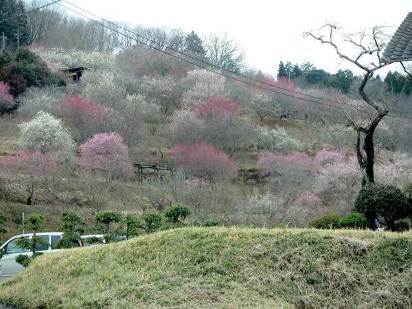 梅の里公園「梅まつり」