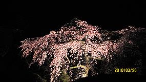 夜桜 285_1