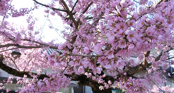 本行寺鐘楼側の桜の木