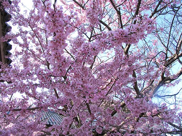本行寺の枝垂れ桜 600_1