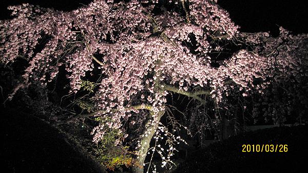 枝垂桜が綺麗にさいています