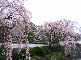 千光寺の駐車場側の枝垂桜