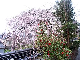 千光寺、子供の枝垂桜