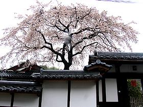 連光寺、入り口近くの枝垂れ桜。