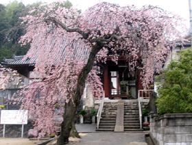 連光寺の枝垂れ桜