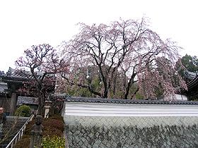 千光寺、駐車場から見る枝垂れ桜