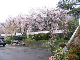 千光寺、見事な枝垂れ桜