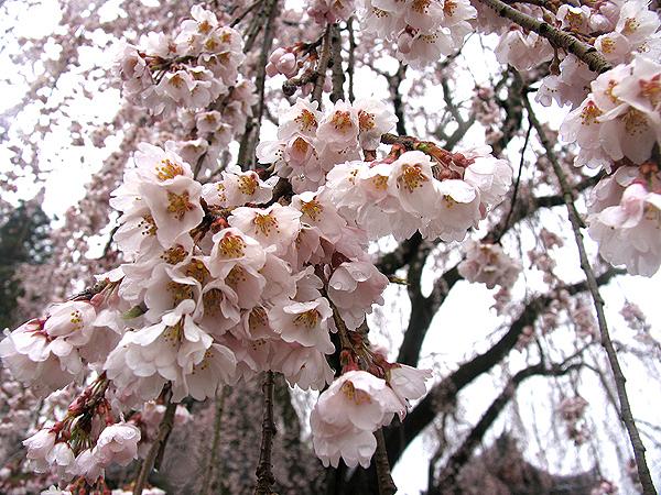 千光寺、空から降ってくる枝垂れ桜