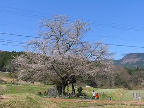 osonosakura4.17.jpg