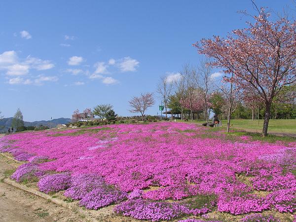 4-25shibazakura.jpg