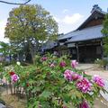愛染寺のぼたんが綺麗でした。