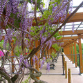 津山城(鶴山公園)の藤の花