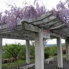 神楽尾公園の藤の花