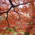津山城「鶴山公園」の紅葉が始まりました。