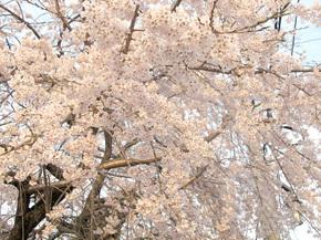 津山郷土博物館前のさくら 2012.4.12